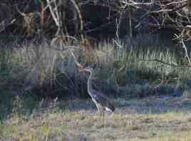 Great Blue Heron by the lake at Little Piney