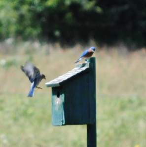 Blue birds and nest box at Little Piney, Bastrop TX