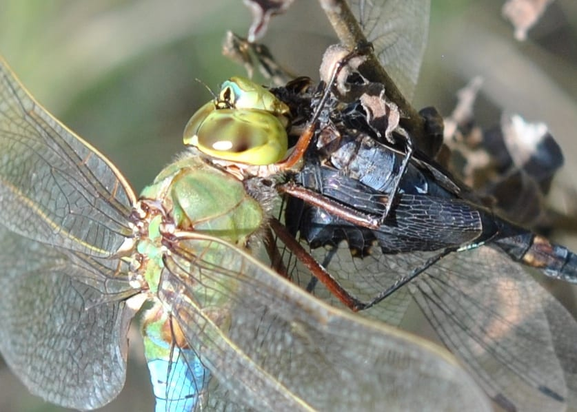 Common Green Darner Glares at Photographer