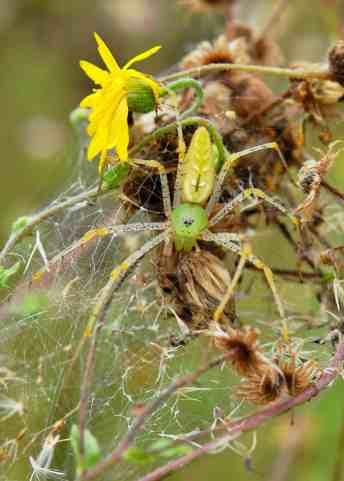 Green Lynx Spider at Little Piney, Bastrop TX