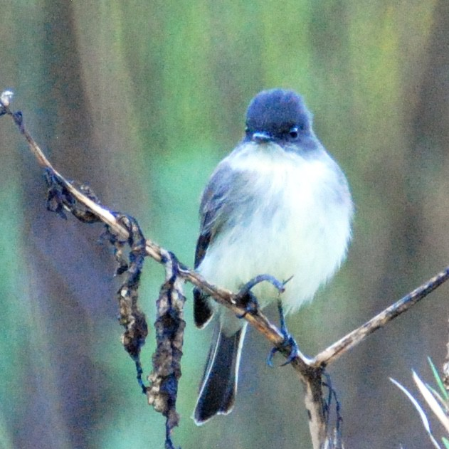 Favorite photos 2015 Eastern Phoebe