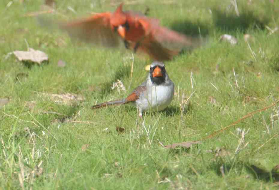 Non-phaeomelanic leucitic Northern Cardinal, Bastrop TX