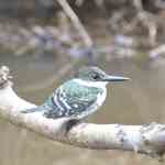 Green Kingfisher, Bastrop TX