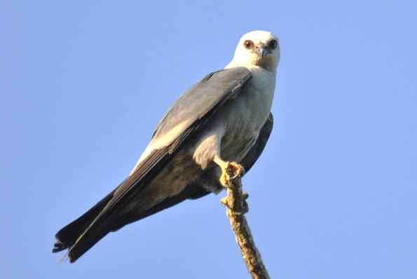 Mississippi Kite Watching Us Watching Him