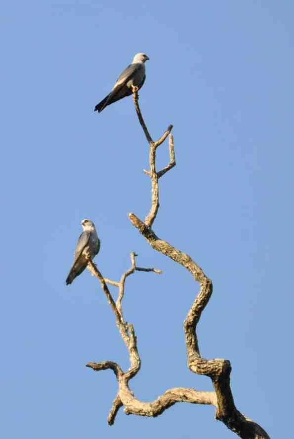 Watchful Mississippi Kites
