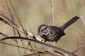 Song Sparrow Bastrop TX
