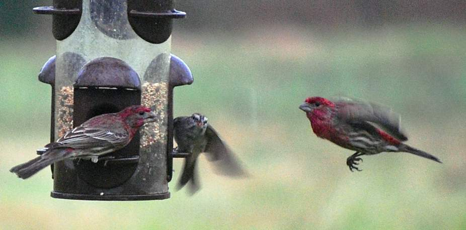 House Finch landing