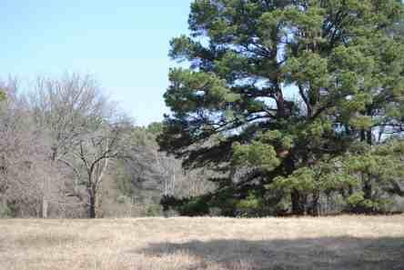 Loblolly Pine at Little Piney, Bastrop TX