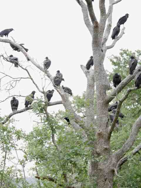 Black Vultures at North Shore Park, Lake Bastrop, Bastrop TX