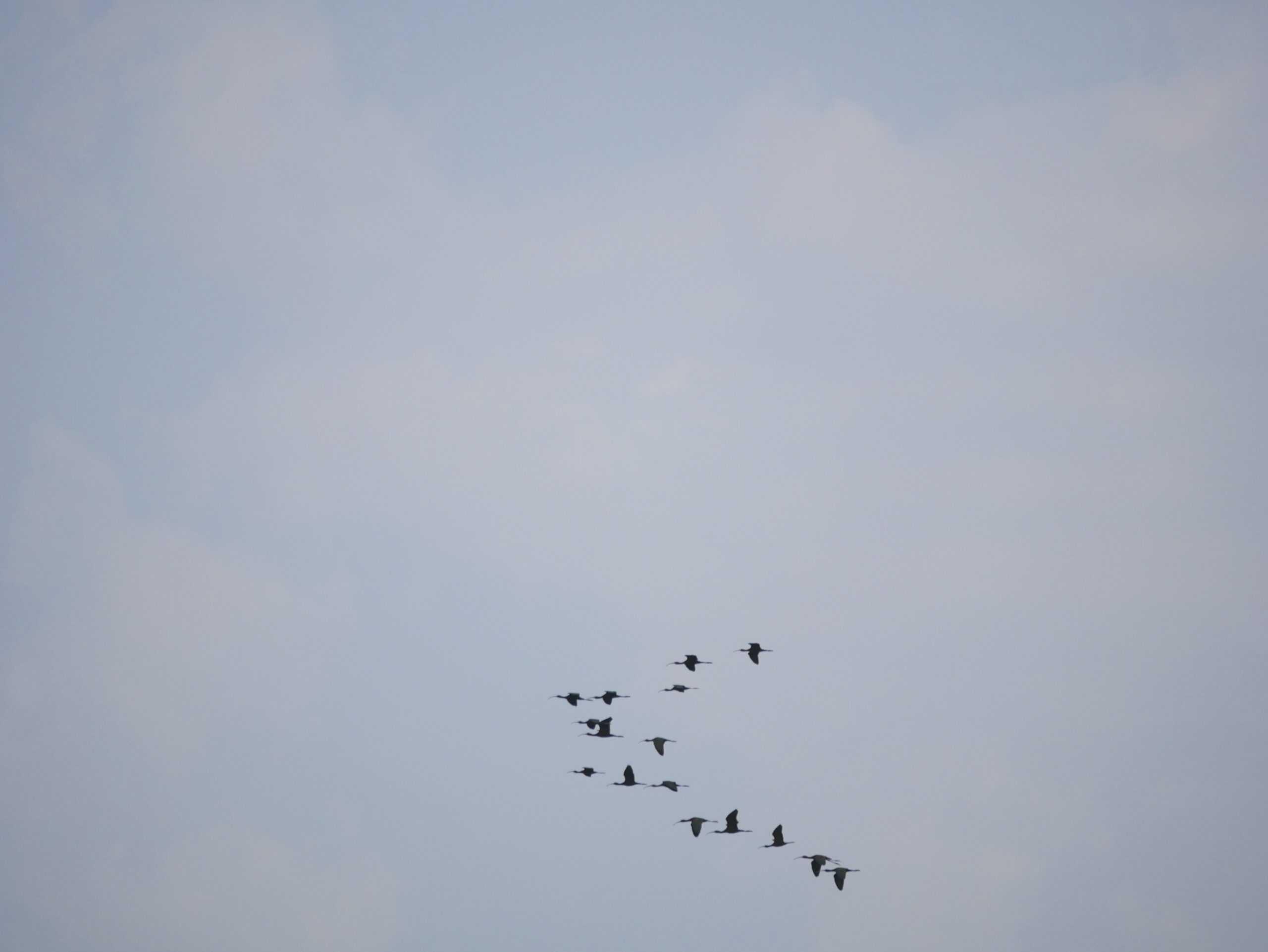 White-faced Ibis flying over Lake Bastrop, Bastrop, TX
