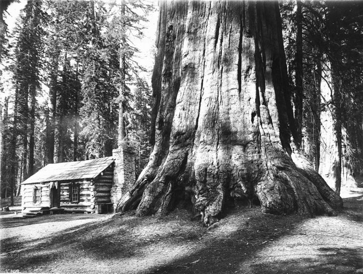 A log cabin dwarfed by a Big Tree in Mariposa Grove in Yosemite National Park, ca.1920