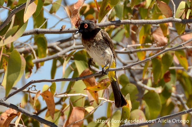 pájaro de cabeza negra y ojo rojo en una rama de árbol en el parque nacional de etosha