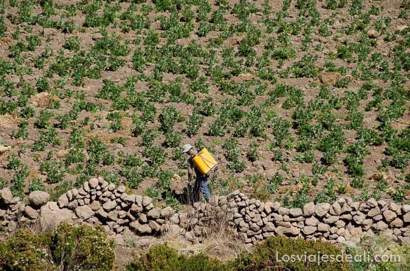 campesino en campo de cultivo con plantas verdes