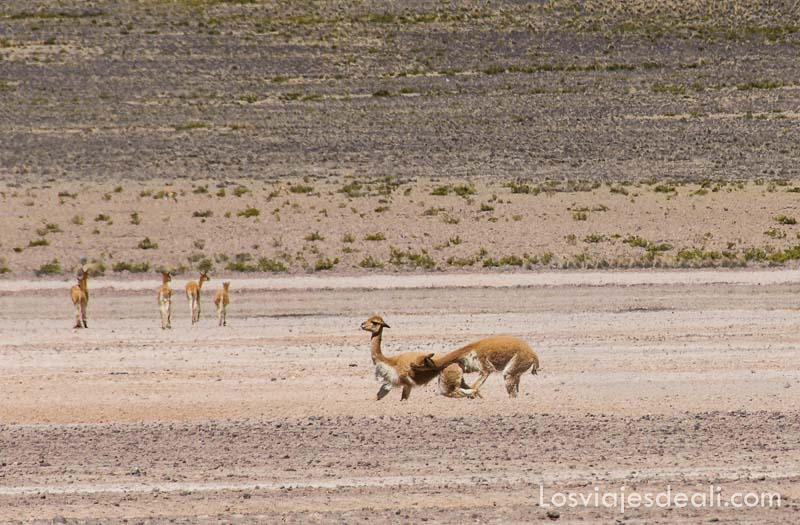 dos vicuñas peleando en el altiplano de perú