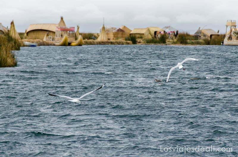 dos gaviotas blancas volando bajo sobre agua del lago titicaca y al fondo isla de uros