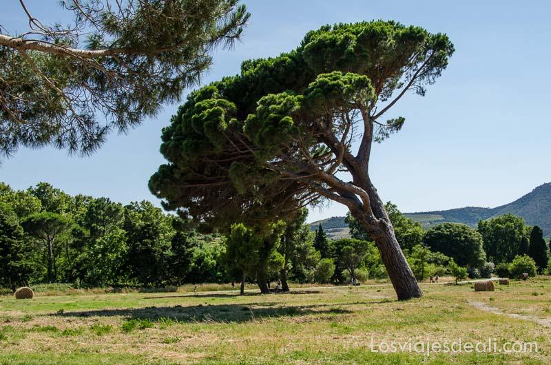 gran pino inclinado por el viento en medio de un prado