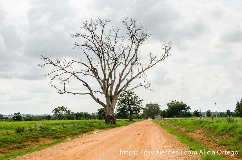 árbol con ramas secas junto a pista de tierra roja y campos verdes tribus de benin