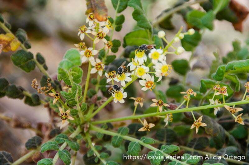 florecillas blancas y amarillas del árbol del incienso con abejas libando cerca de salalah