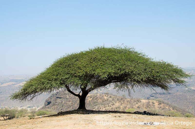 árbol de tamarindo que extiende sus ramas hacia los lados formando gran sombra visitas que hacer cerca de salalah