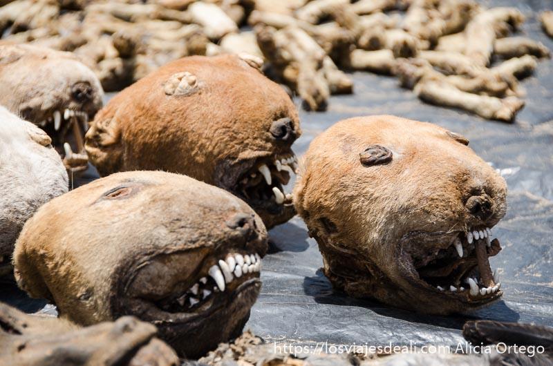 cabezas de león disecadas en el mercado de fetiches de la capital de togo