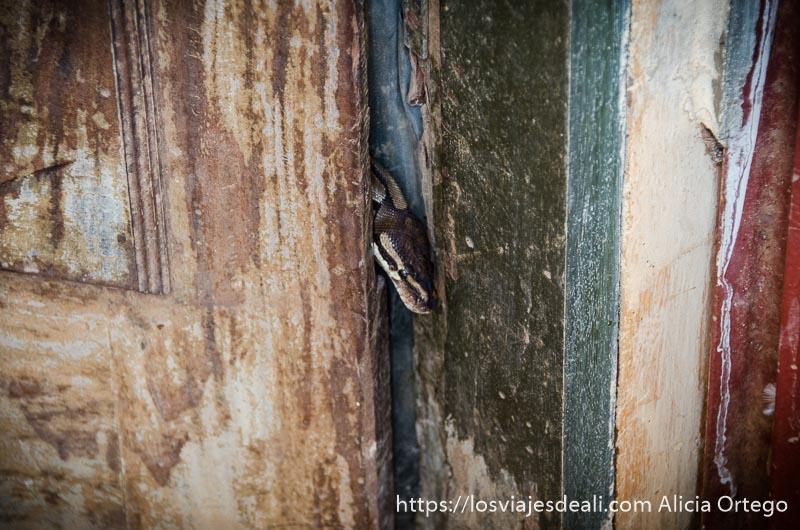 cabeza de serpiente pitón asomándose por la puerta del templo en ouidah benin