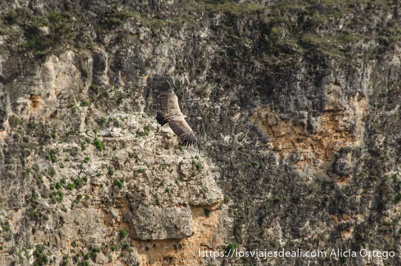 buitre leonado volando en las hoces del duratón