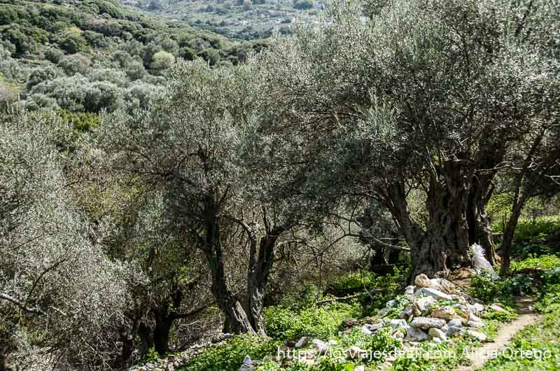 dos olivos grandes en ladera de montaña pueblos del interior de naxos