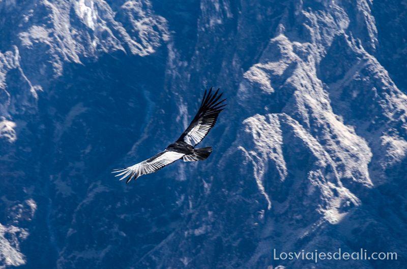 cóndor con alas extendidas en el cañon del colca
