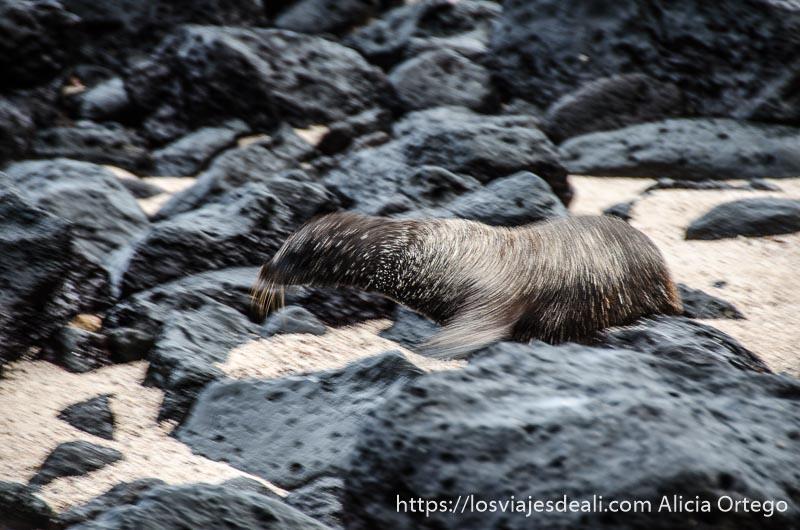 león marino sacudiéndose el agua sobre unas rocas volcánicas en isla san cristóbal galápagos