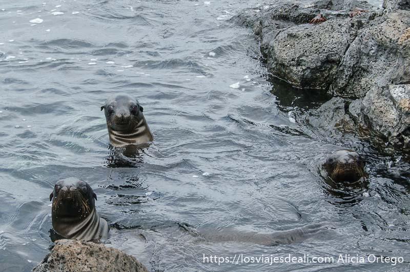 leones marinos en el agua mirando a la cámara isla san cristóbal