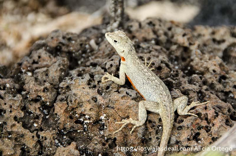 lagartija con tripa roja en isla san cristóbal galápagos