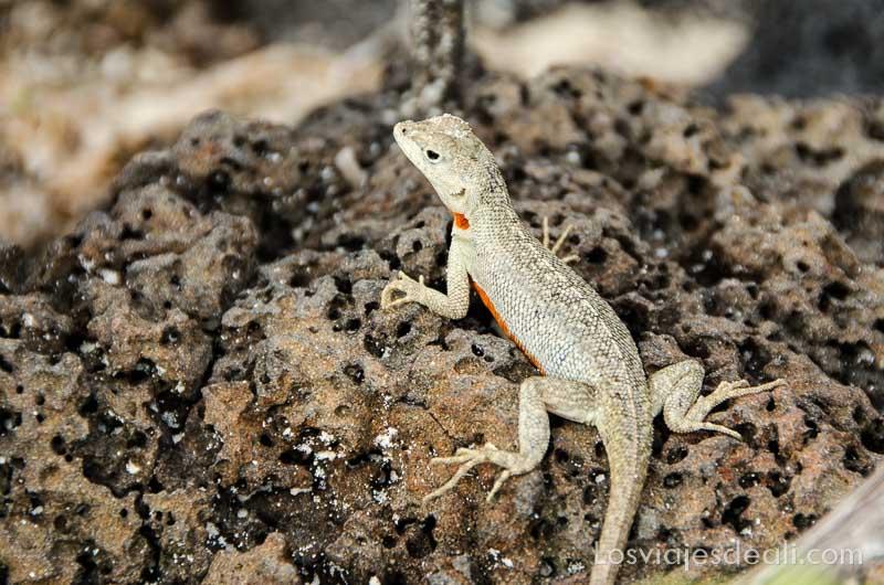 fauna y flora de galapagos lagartija lava