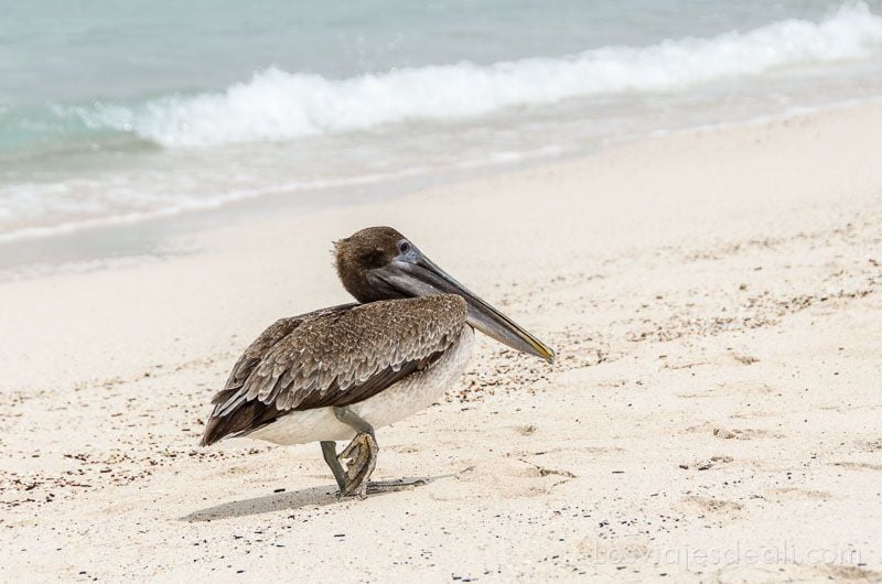 fauna y flora de galapagos pelicano
