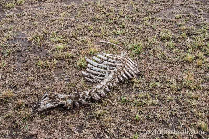 dos días en Masai Mara esqueleto