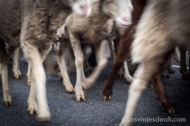 fiesta de la trashumancia madrid ovejas