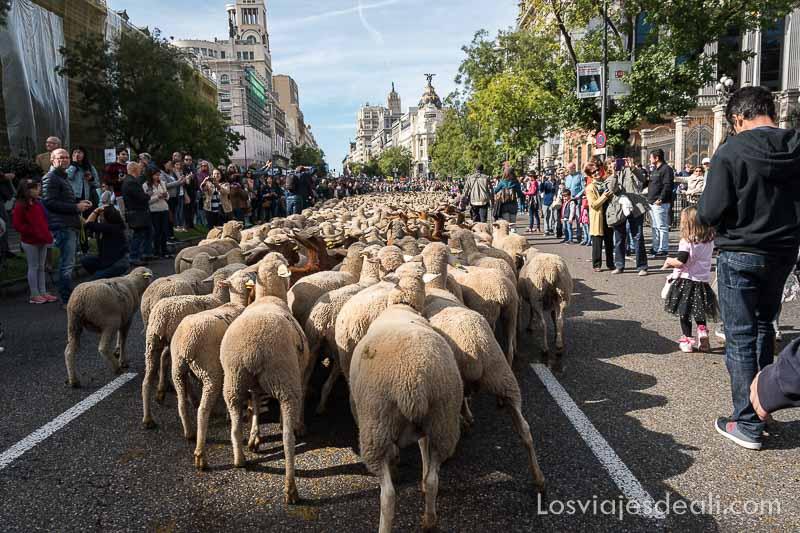 fiesta de la trashumancia madrid subiendo_