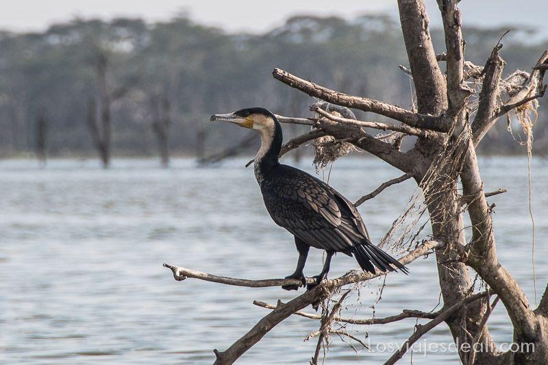 cormorán en el Lago Naivasha