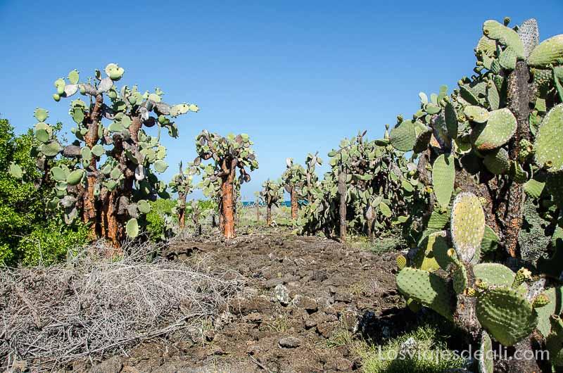 isla santa cruz cactus tortuga bay