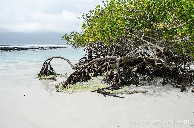 isla santa cruz tortuga bay manglar