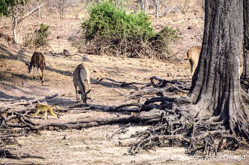 fauna en parque nacional de chobe