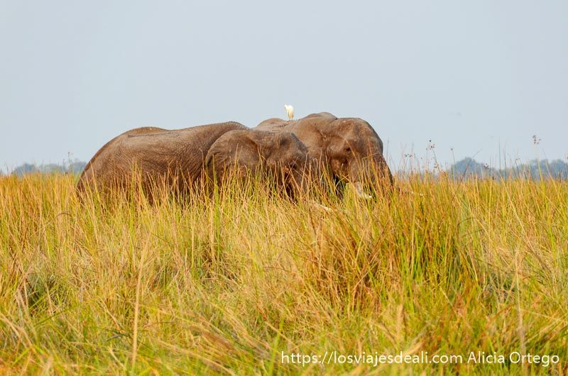 ecosistema del delta del okavango elefantes
