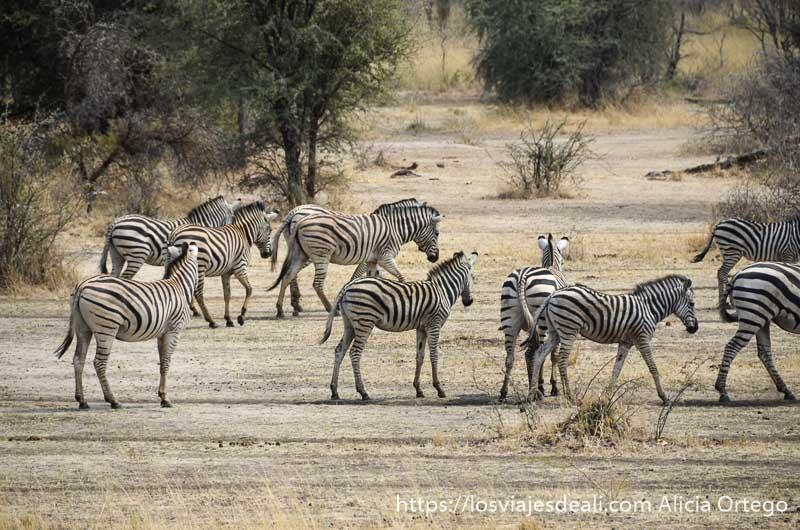 cebras en reserva de mahango cerca de rundu