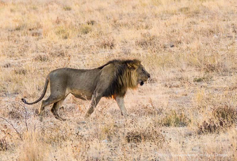 león en Etosha