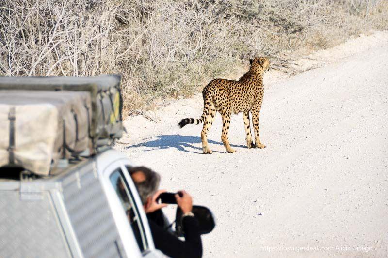 guepardo en parque nacional de Etosha