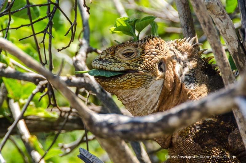 iguana amarilla comiendo hojas