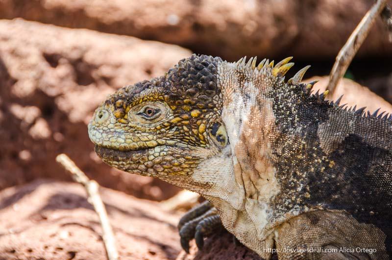primer plano de iguana amarilla con su cresta