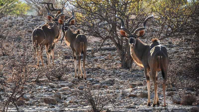 tres kudus mirando a la cámara viajando se rompen tópicos