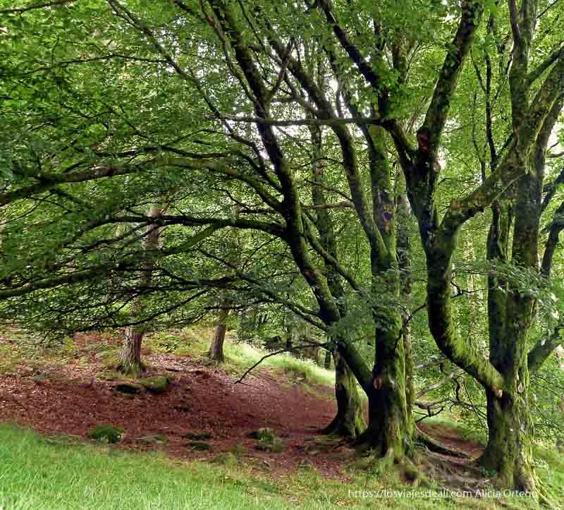 bosque de árboles cubiertos de musgo en glendalough