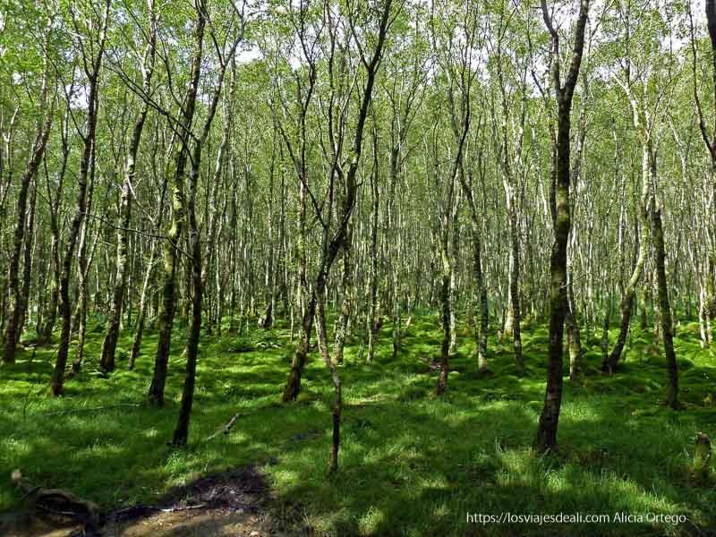bosque de hayas jóvenes con suelo muy verde en glendalough
