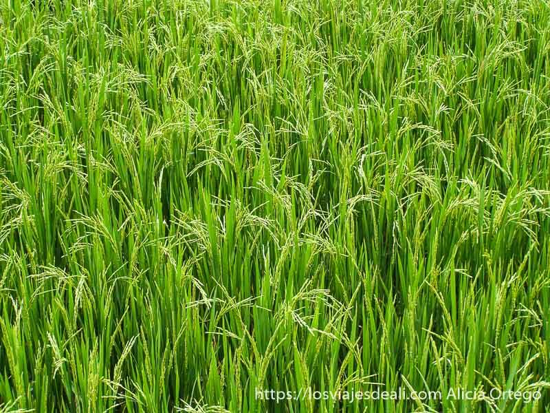 campo de arroz en el norte de vietnam